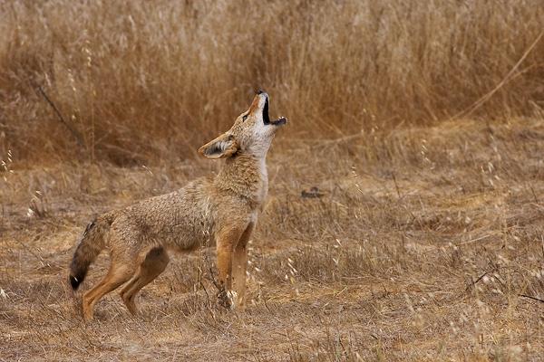 Coyote hurlement