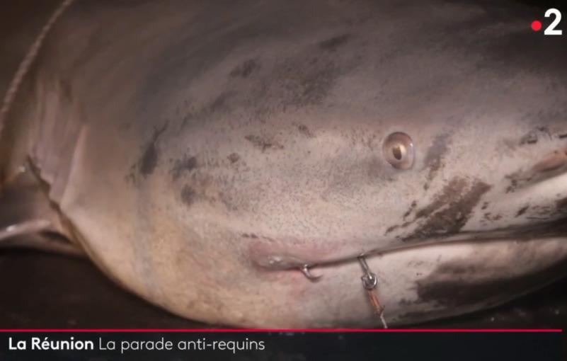 Pêche au requin : France Télés oublie l'écologie